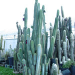 Pilosocereus pachycladus (Blue Columnar Cactus)