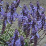 Plectranthus neochilus 'Mike's Fuzzy Wuzzy' (Variegated Lobster Flower)