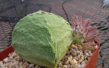 Pseudolithos cubiformis (Cube Pseudolithos)