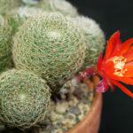 Rebutia heliosa subsp. cajasensis