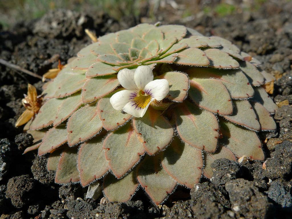 Viola volcanica (Volcanic Violet)