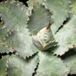 Agave potatorum 'Cameron Blue' (Butterfly Agave)