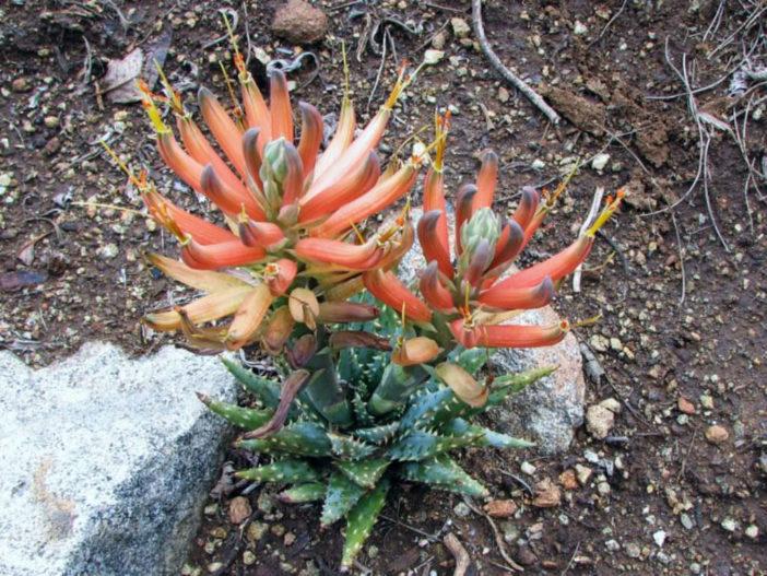 Aloe longistyla (Karoo Aloe)
