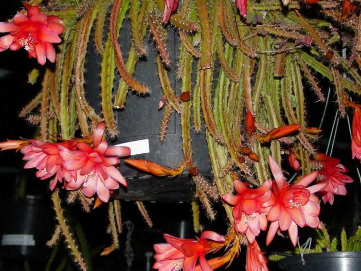 Aporophyllum 'Edna Bellamy'