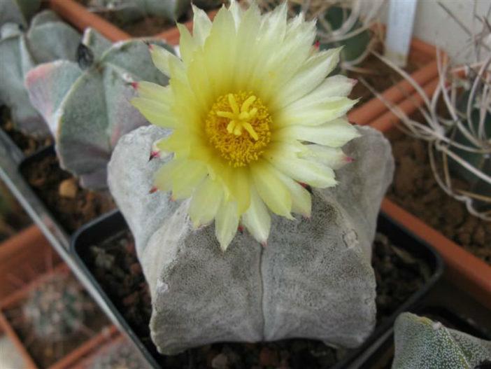 Astrophytum coahuilense (Bishop's Cap)