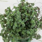 Callisia repens (Turtle Vine)