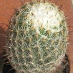 Coryphantha cornifera (Rhinoceros Cactus)