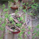 Crassula sarcocaulis 'Ken Aslet' (Ken Aslet Bonsai Crassula)