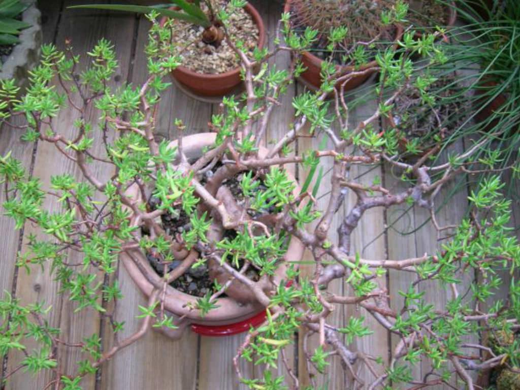 4 Young Monilaria globosa plants in 2020 | Rare succulents