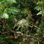 Cussonia arborea (Octopus Cabbage Tree)