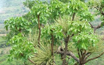 Cussonia arborea (Octopus Cabbage Tree)