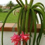 Disocactus x mallisonii (Rat's Tail Cactus)