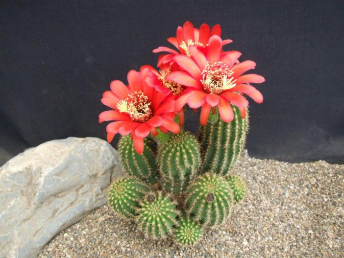 Echinopsis huascha var. grandiflora (Red Torch Cactus)