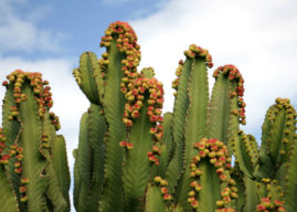 Euphorbia abyssinica (Desert Candle)