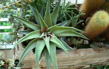 Haworthia 'Jade Star'