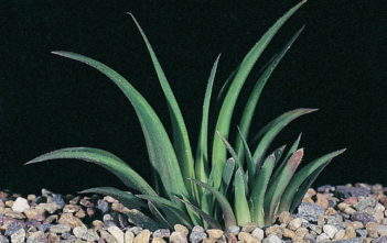Haworthia floribunda var. major