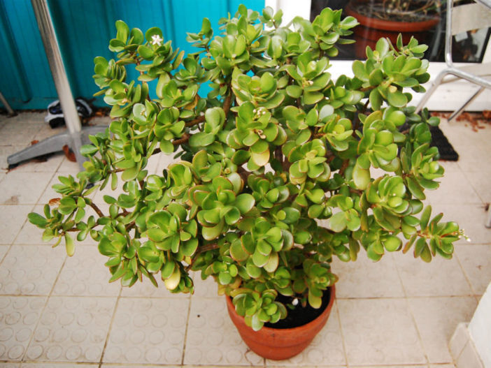 Jade Plants Potting Soil