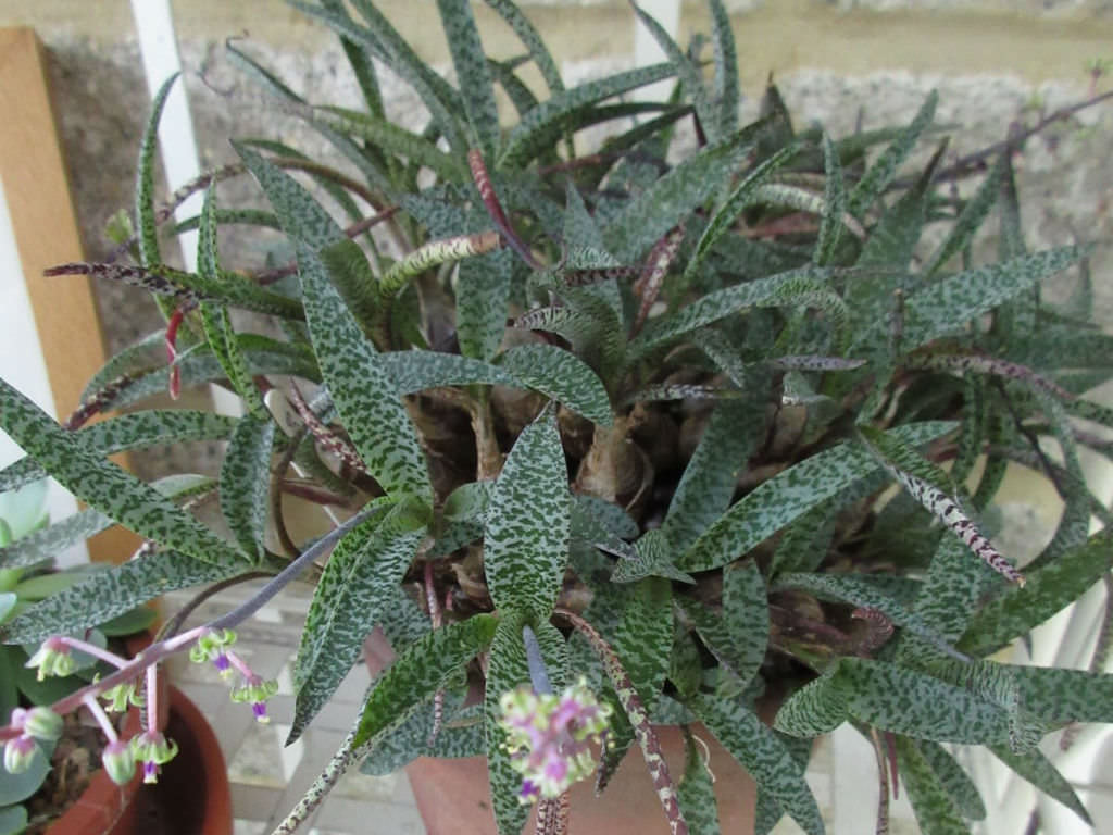 Ledebouria Socialis Silver Squill World Of Succulents