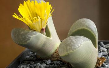 Lithops helmutii (Living Stones)
