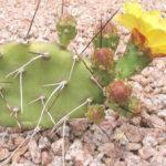 Opuntia sulphurea (Prickly Pear Cactus)