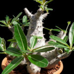 Pachypodium rosulatum (Elephant's Foot Plant)