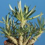 Pachypodium rosulatum subsp. gracilius (Elephant's Foot Plant)
