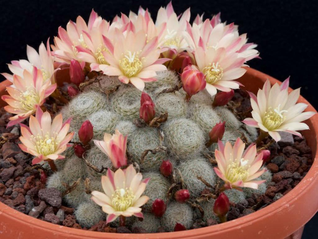 Rebutia albiflora /'Sunrise/'