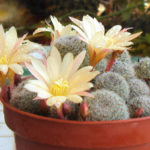 Rebutia 'Sunrise'