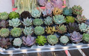 Rosette Succulent