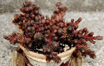 Sedum polytrichoides 'Chocolate Ball' (Chocolate Ball Stonecrop)