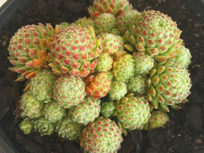 Sempervivum 'Hairy Balls'