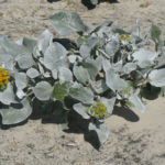Senecio candicans (Sea Cabbage)