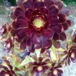 Aeonium 'Voodoo' (Giant Red Aeonium)