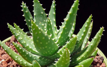 Aloe 'Crosby's Prolific'