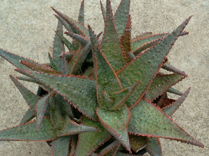 Aloe 'Donnie'