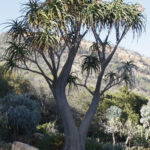 Aloidendron barberae (Giant Tree Aloe)