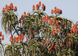 Aloidendron barberae (Giant Tree Aloe)