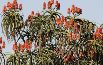 Aloidendron barberae (Giant Tree Aloe) aka Aloe barberae