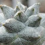 Astrophytum coahuilense 'Hakuran'
