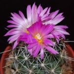 Coryphantha ramillosa (Bunched Cory Cactus)