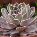 Echeveria 'Latte Rose' (Brown Ghost Plant)