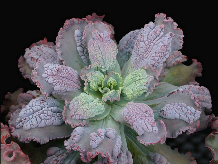 Echeveria 'Virginia Lee'