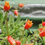 Echeveria harmsii (Plush Plant)