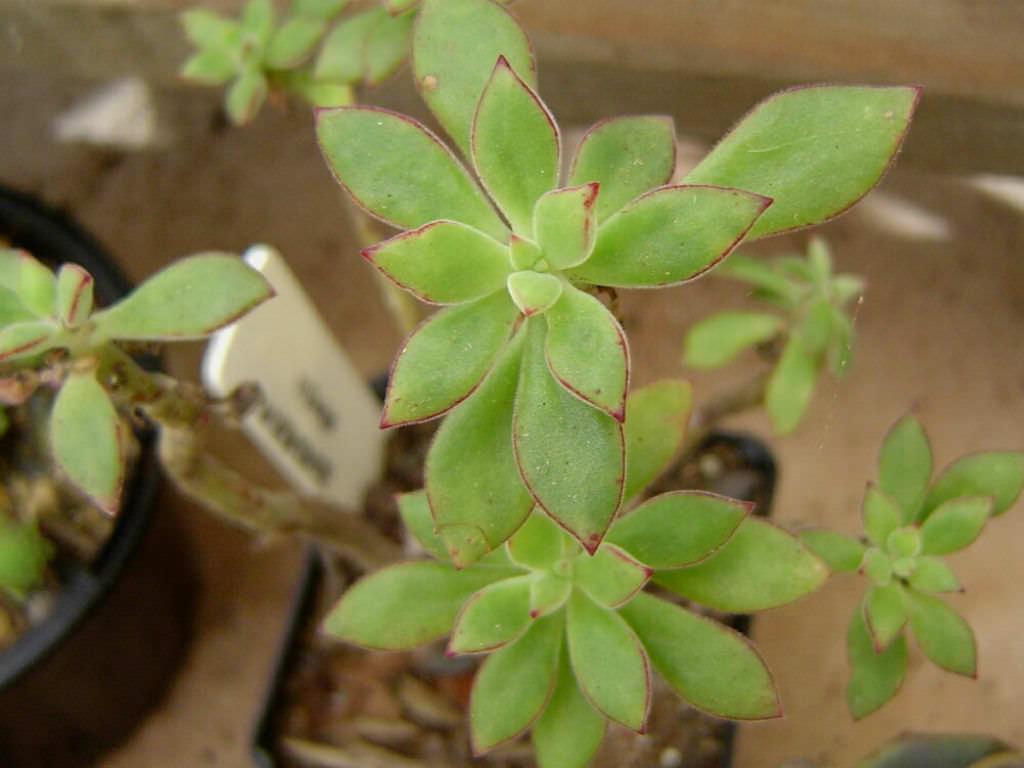 Echeveria Harmsii Plush Plant World Of Succulents