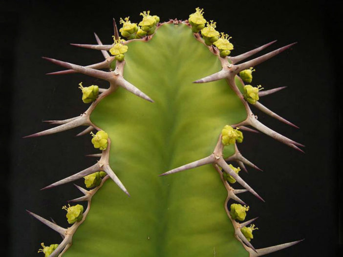 Euphorbia breviarticulata (False Cow Horn)