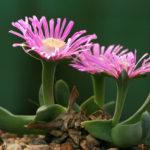 Gibbaeum velutinum