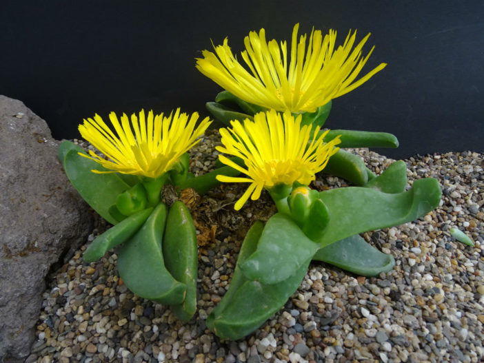 Glottiphyllum depressum (Tongue Plant)
