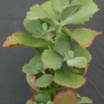 Kalanchoe longiflora (Tugela Cliff-Kalanchoe)