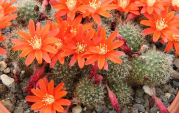 Rebutia fiebrigii (Orange Crown Cactus)