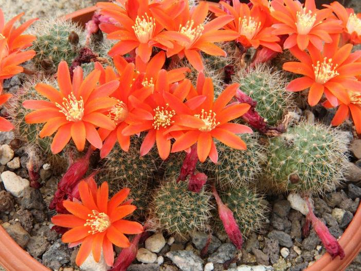Rebutia fiebrigii (Orange Crown Cactus)